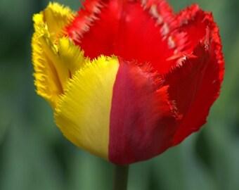 Tulips Set of 2
