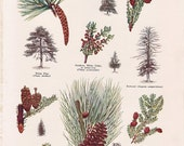 Evergreens of North America...old dictionary page from the 1930's....