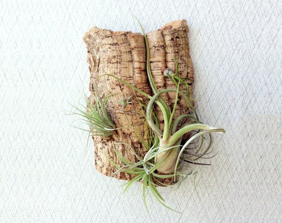 Reserved for Clara Morris Wall Garden: Air Plants on Sustainable Virgin Cork Bark