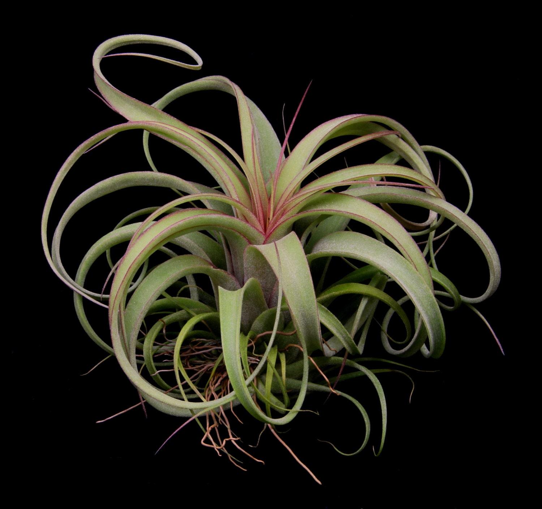 Tillandsia concolor x streptophylla beautiful hybrid large Tillandsia hybrids