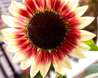 Heirloom 60 Seeds Skyscraper Helianthus Brown Center Sunflower Flower Bulk B2073