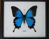 Real Single Papilio ULYSSES Butterfly Taxidermy in Frame