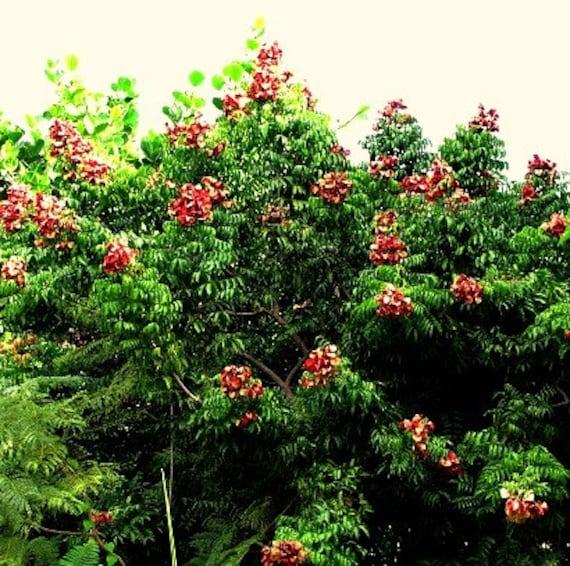 Black Pearl Tree Majidea Zangueberica 10 Seeds Showy By