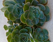 5 SUCCULENT CUTTINGS -  Succulent Wedding, Succulent Centerpiece