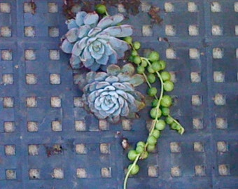 Succulent Plants, Blue Echeveria Minima