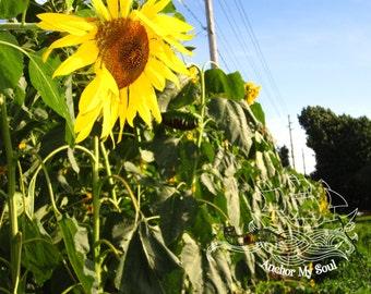 Sunflower Row 8x10