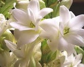 Natural Tuberose Perfume Oil, Tuberose Fragrance Oil, Tuberose Scent, Tuberose Oil, Lotions and Potions