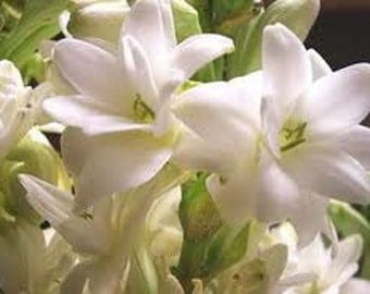 Natural Tuberose Perfume Oil, Tuberose Fragrance Oil, Tuberose Scent, Tuberose Oil, Lotions and Potions