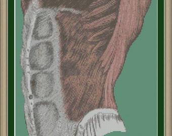 Human abdominal muscles: cool anatomy cross-stitch pattern