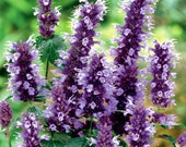 Hyssop, Aromatic Flowers, Honey Production, Herbal, A Must for the Garden, 25 Seeds