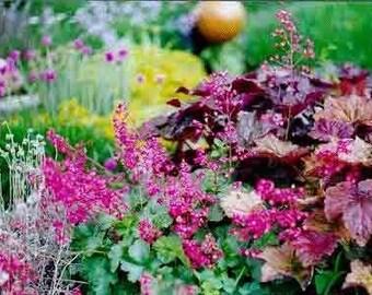 Coral Bells Flower, Perennial, Attractive Foliage, Hummingbirds, 25 Seeds