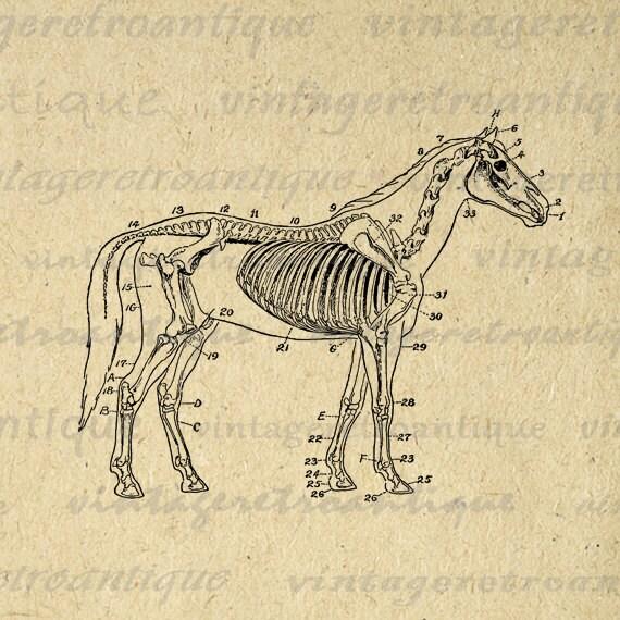 horse skeleton diagram digital printable by. Black Bedroom Furniture Sets. Home Design Ideas