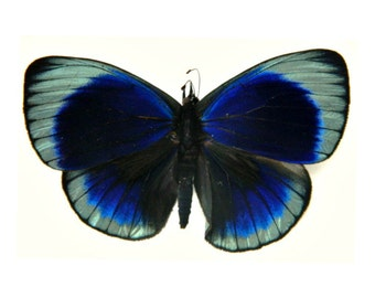 Real Brilliant Blue Butterfly, Photography Prop, DIY Craft Project, Specimen Collection, Callithea