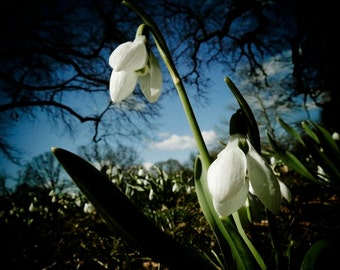 SnowDrop Flower In Spring  - Nature Art - Wall Decor - Spring flower photograph - Garden - Snowdrop - Nature Photography
