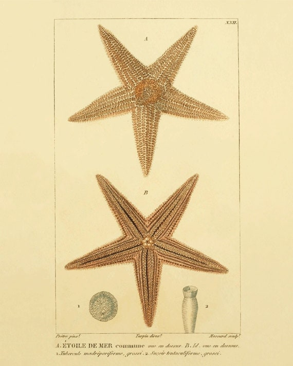 starfish art print vintage ocean decor victorian art nautical