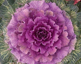 Ornamental cabbage , Flowering, Kales seeds Kales Flower,355,gardening, kales chips ,