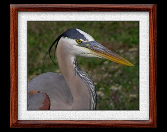 Great Blue Heron Print - 8x10 Heron Photograph - Bird Photograph - Bird Print (P18)