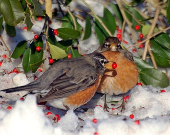 Robins in Holly Tree, Fine Art Photograph