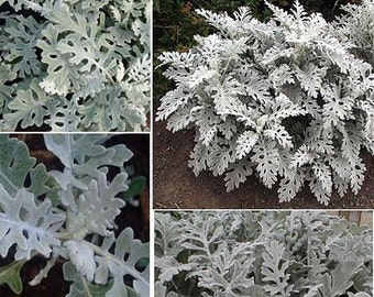 Dusty Miller- 10 stem bunch