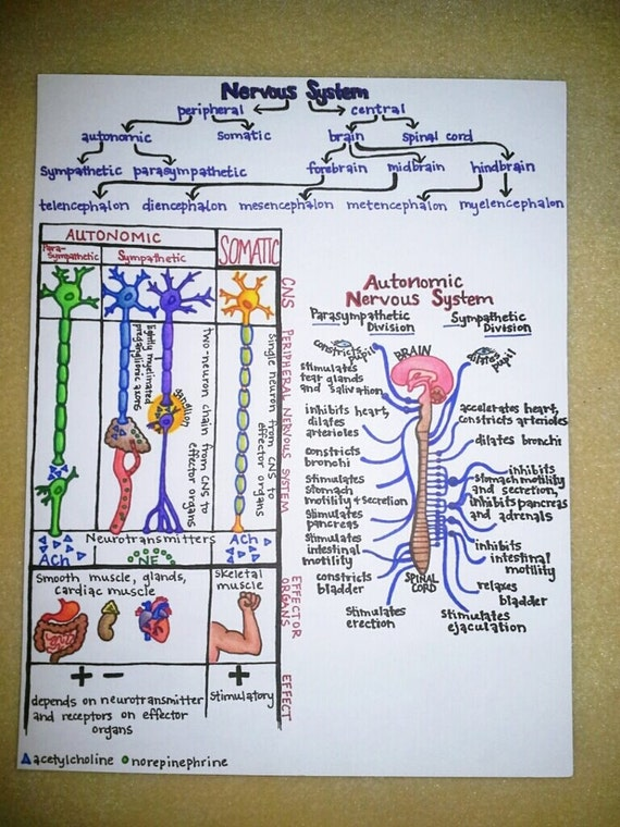 Items similar to Laminated handdrawn human anatomy    study