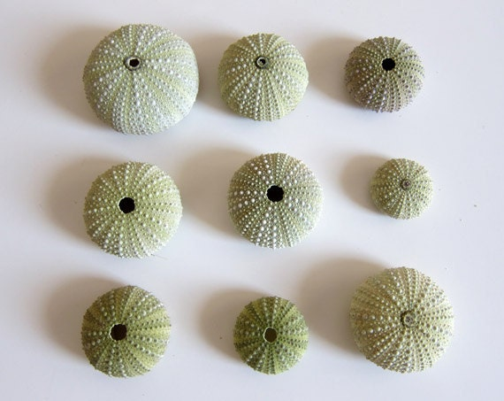 Sea Urchin Shells for Home Decor or Craftworks