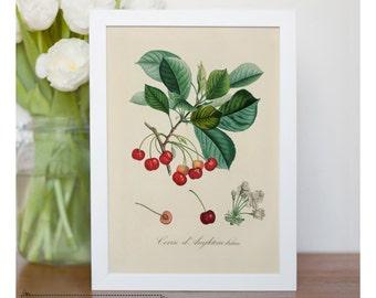 "Vintage illustration of cherries - framed fine art print, botanical art, 8""x10"" ; 11""x14"", FREE SHIPPING  008"