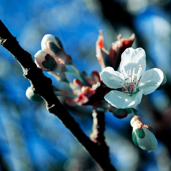 Cherry Blossom Photograph Teal And Coral Flower By