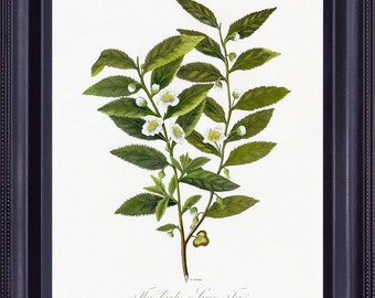 BOTANICAL 8x10 Vintage Giclee Print Antique Art Painting Robert THORNTON Green Tea Plant Tree Natural History to Frame BF0012