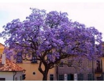 20 Paulownia Tomentosa Fragrant Purple EMPRESS TREE Seeds / World's Fastest Growing Tree