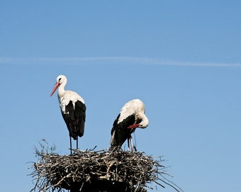 Togetherness 6x6 fine art photo print Two birds Storks in their nest with blue sky Animal lover home decor wedding gift idea