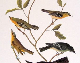 Audubon Bird Print - Flycatchers 2 - Large 1981 Vintage Audubon Bird Book Page