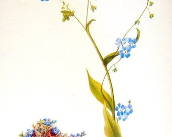 Flower Print - Moss Forget Me Not, Bur Forget Me Not, Alpine Forget Me Not - 2 Sided - 1950's Vintage Botanical Illustration Book Page