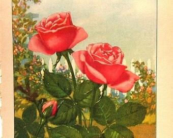 Rose, Marigold - Flower print -  2 Sided - 1917 Vintage Flower Prints Botanical Book Page