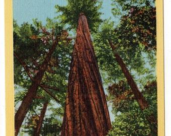 Giant Redwoods Postcard Duet Vintage Antique 1933