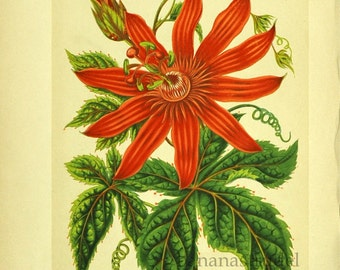 1880s Antique English Chromolithograph of the Passion Flower