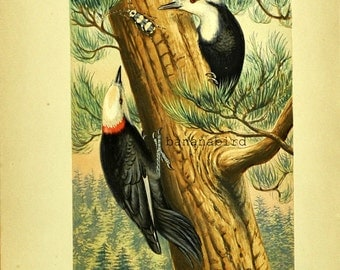 1880s Antique English Chromolithograph of a White Headed Woodpecker