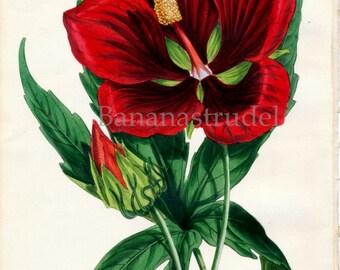 1847 Rare Vintage Botanical Print by Joseph Paxton - Hibiscus Jerroldianus - Handcolored