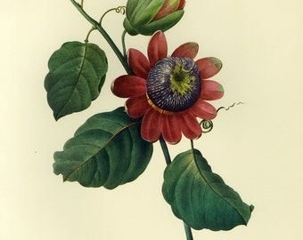 Passion Flower Print by Redoute Botanical Book Plate SALE~~Buy 3, get 1 Free