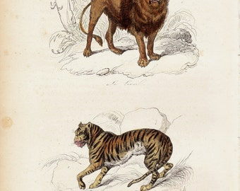1870  Victorian LION and TIGER engraving By BUFFON, big wild cats, beautiful antique wild life print