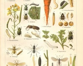 1904 Beetles, Flies, Weevils Click Beetle, Cabbage Flea, Carrot Fly Original Antique Chromolithograph