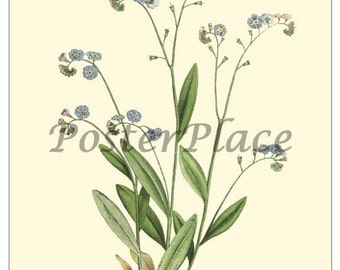 ART CARD - Forget-me-not antique  botanical print reproduction 81