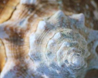 Beach Cottage Decor, Cream Seashell Photography Art Print, Beach Photography