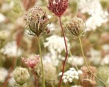 Queen Anne's Lace Flower Print  Fine Art Photography, Wildflower, A Summer Farewell