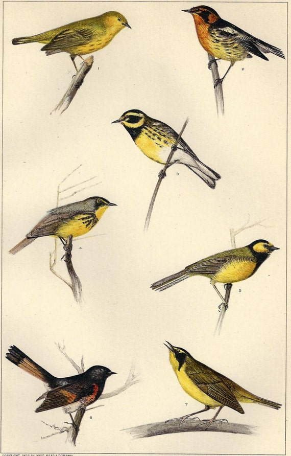 Antique Bird print American Wood Warblers 1909 Book Plate - Seven Beautiful Songsters -  Great to Frame