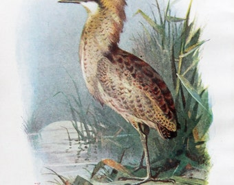 Bittern - Antique Bird Print - Vintage Bird Illustration - Bird Print from Swaysland, Familiar Wild Birds - by A. Thorburn