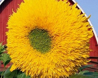GIANT SUNGOLD SUNFLOWER Seeds / Spectacular Full Double Bloom / Truly One of the Prettiest Available / Will Make Heads Turn, Including Yours