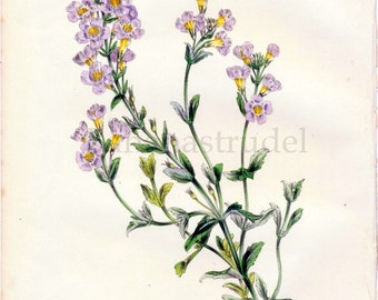 1847 Rare Vintage Botanical Print by Joseph Paxton - Chaenostoma Polyanthum - Handcolored