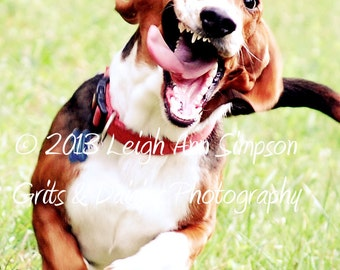 Someone left the gate open - Set of four 4x6 Greeting Cards - Animal Photography - Basset Hound
