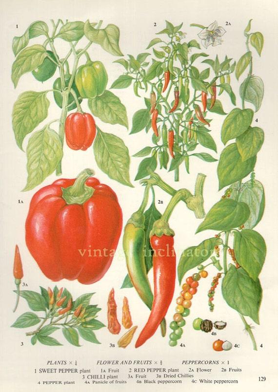 vintage botanical print antique peppers chilli plant print