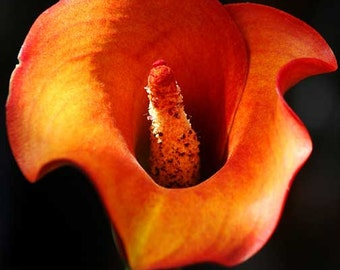 Orange Flower Photography, Calla Lily Floral Art Print, Nature Photography, Flower Wall Art, 5x7 8x10 11x14 Photo
